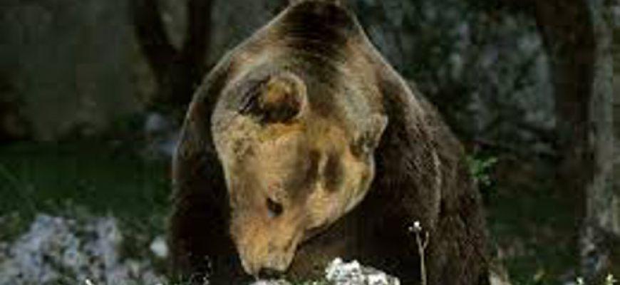 Stanziati 290 mila euro per prevenire incursione degli orsi